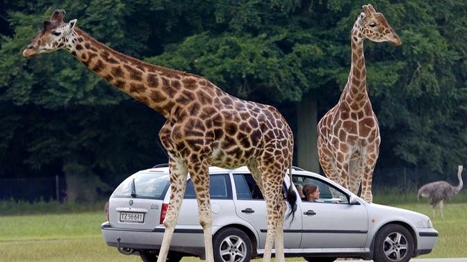 1464945033_girafbil.jpg
