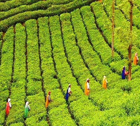 Tea Plantation Walking Tour in Munnar