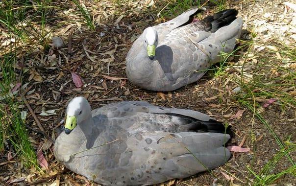 1464870290_cereopsis_novaehollandiae_-cleland_wildlife_park__australia_-two-8a.jpg
