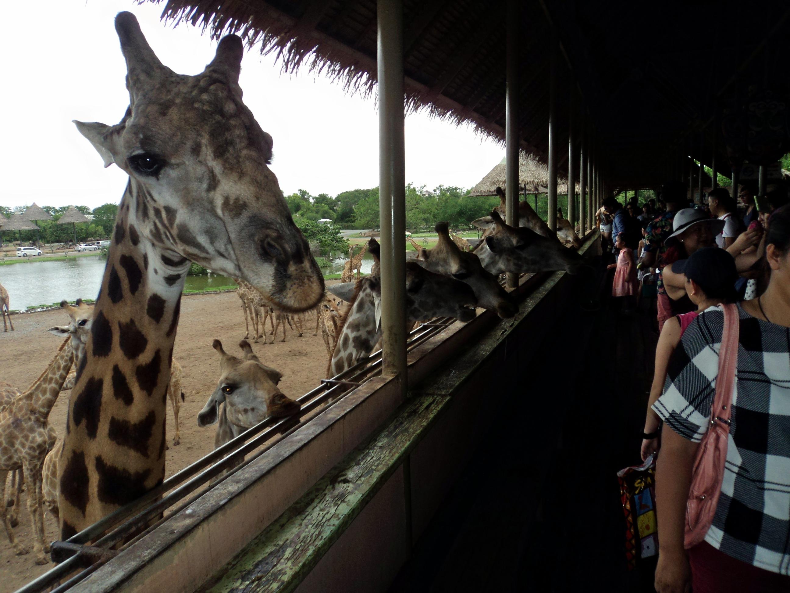 1464781151_giraffes-_safari-_bangkok.jpg