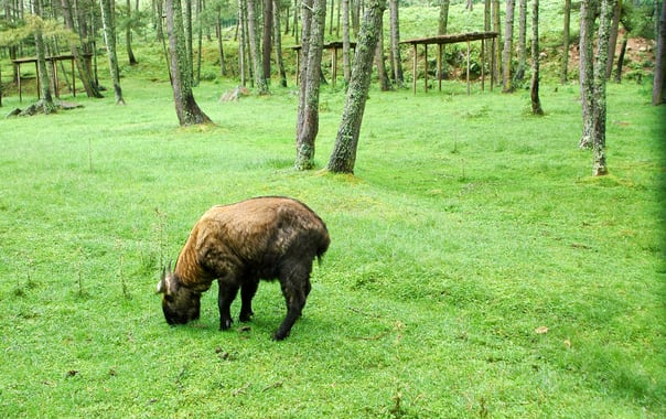 A_takin_the_national_animal_of_bhutan.jpg