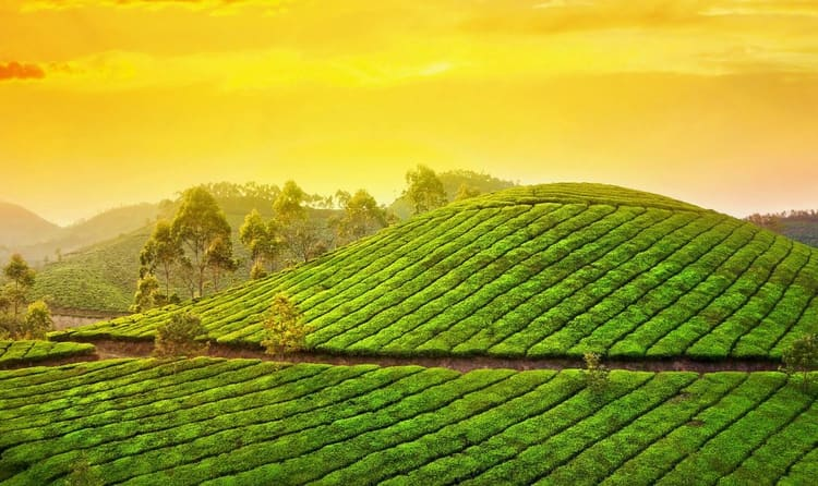 Walk Between Tea Gardens of Munnar