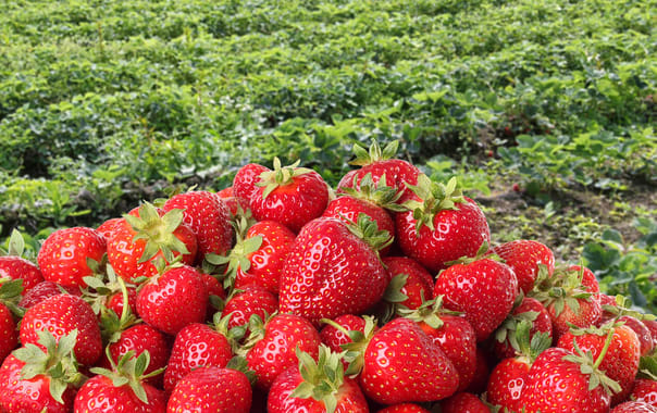 Bali Strawberry Farm, Bali - 2019 (Photos & Reviews)