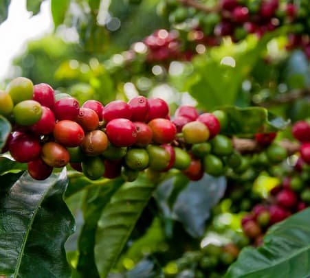 Coffee Estates in Chikmagalur, Walking Tour- Flat 37% Off