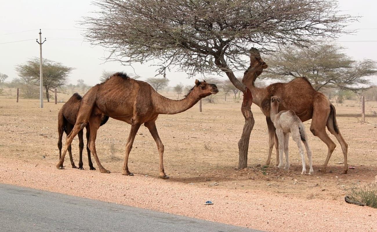 Mohin Desert Camp jaisalmer - Jaisalmer - Mohin Desert ...