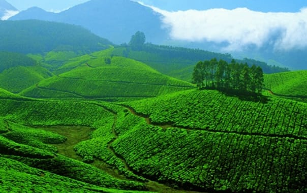 Tea_gardens_at_devikulam_2c_munnar.jpg