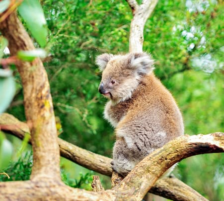 Kuranda Koala Gardens Admission Ticket