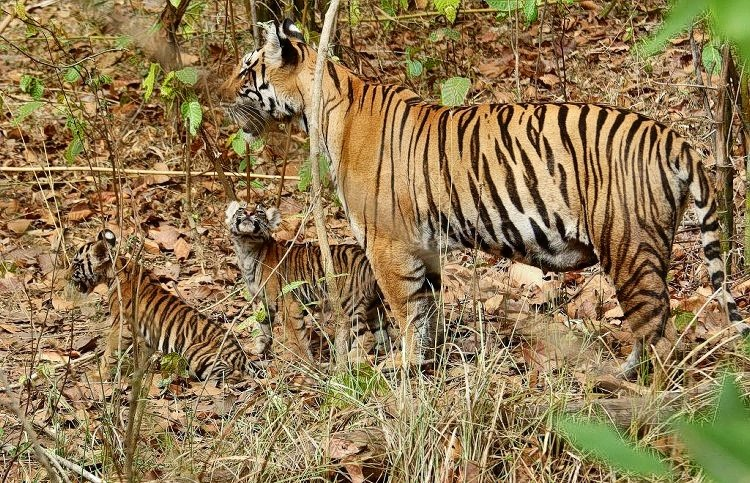 M_tigeress_with_cubs_in_kanha_tiger_reserve.jpg