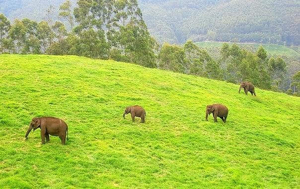 Wild_elephants_2c_munnar.jpg