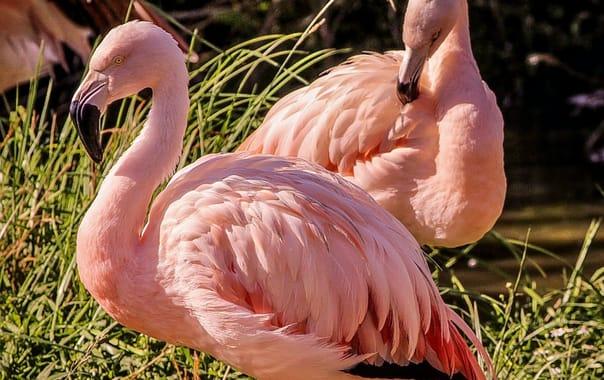 Pink-flamingos-204845_960_720.jpg