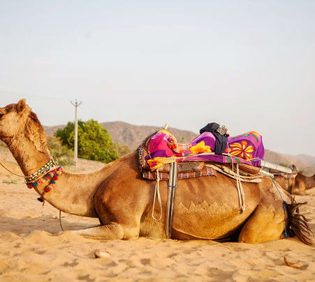 Camel Safari in Pushkar