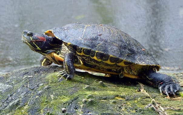 1470899547_red-eared-slider-1201602_960_720.jpg