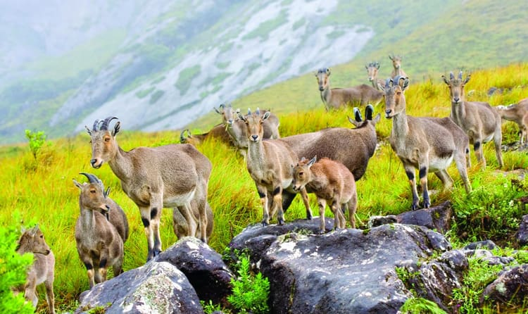 Meet Nilgiri Tahr In Eravikulam National Park