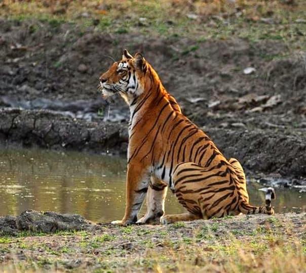 Pench National Park Wildlife Safari