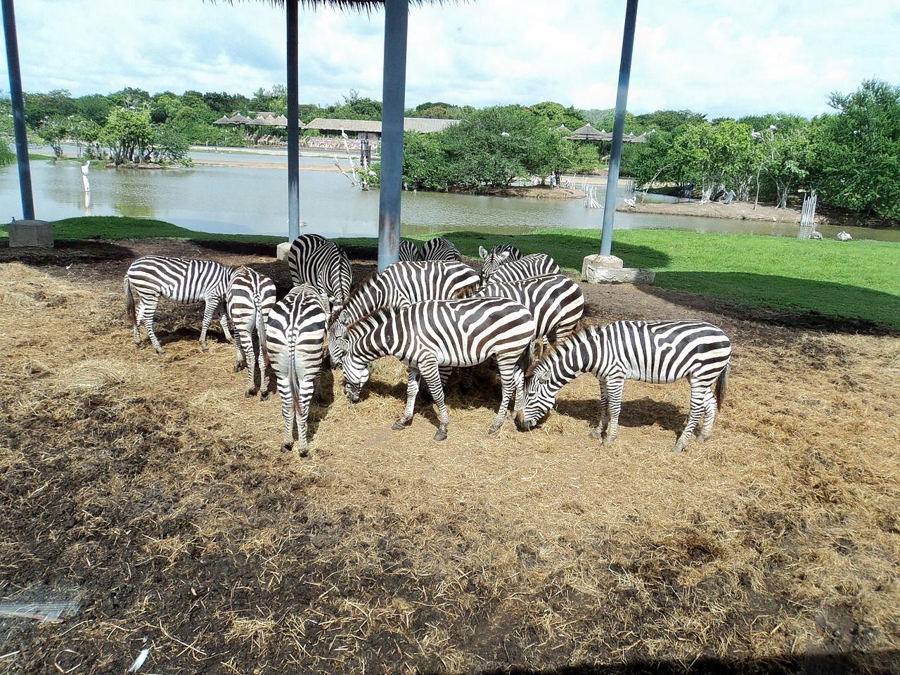 1464945434_zebras-_safari-_bangkok.jpg