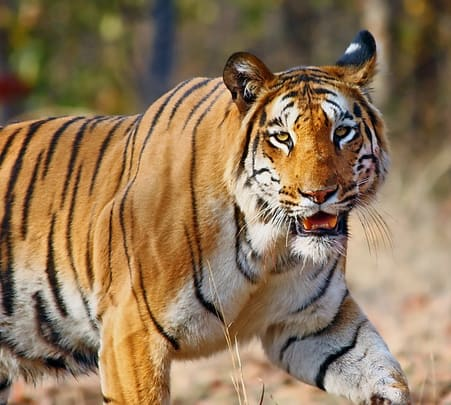 Pench National Park Wildlife Tour, Pench Tiger Reserve