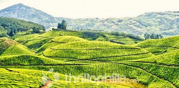 Munnar_tea_plantation_kerala.jpg