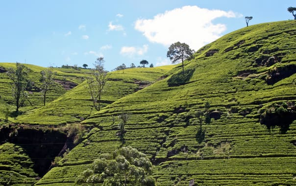 Labookellie_tea_plantation__sri_lanka_2.jpg