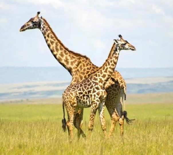 Maasai Mara, Lake Nakuru and Samburu Tour in Kenya