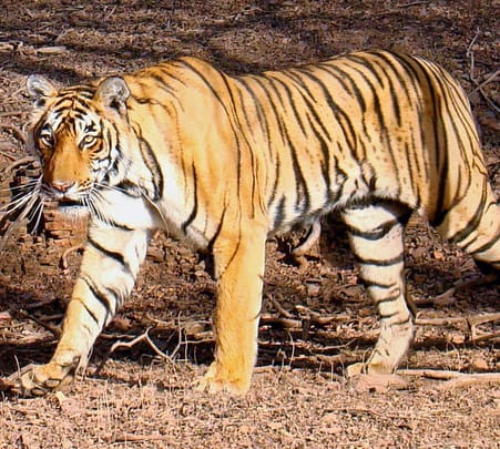 Bandhavgarh Tiger Trails