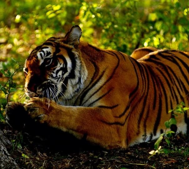 Ranthambore Tiger Pugmark