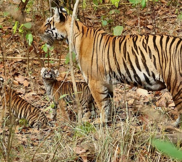 Wildlife Tour to Tadoba Wildlife Sanctuary in Chandrapur