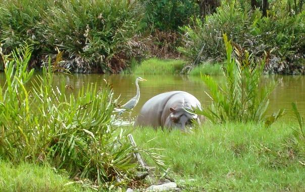 1481609196_white_hippopotamus.jpg