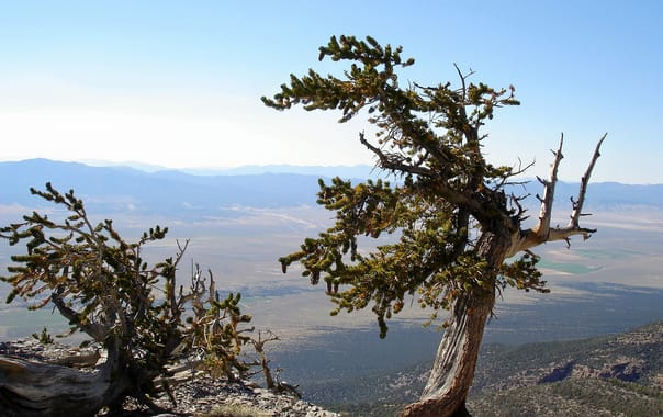 1481201364_old-pine-tree-great-basin-national-park-nevada.jpg