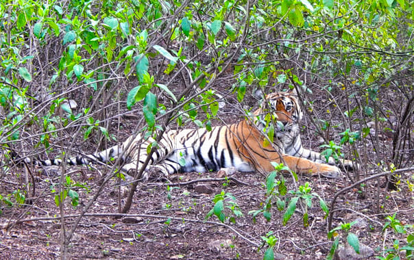 Sariska-national-park-tiger.jpg