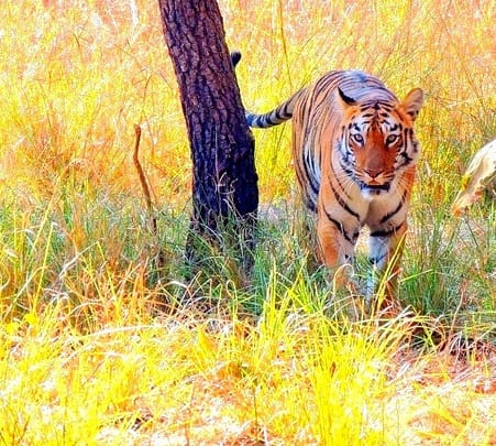 Tadoba Tiger Safari, Chandrapur