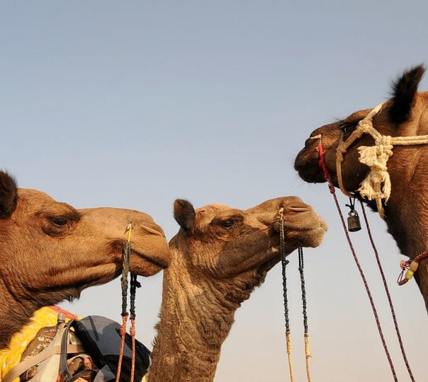 Camel Safari with Camping from Dawa to Kakkoo