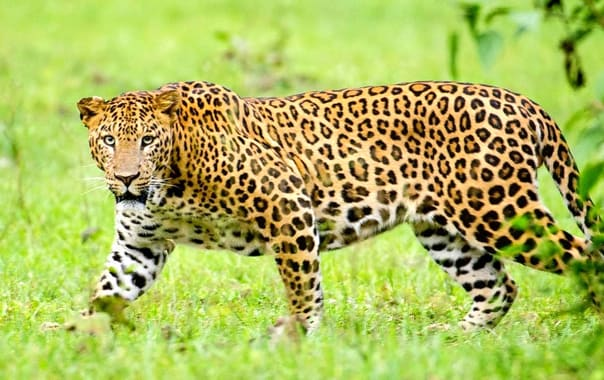 3835262-nagarhole_kabini_karnataka_india_leopard_september_2013_1.jpg