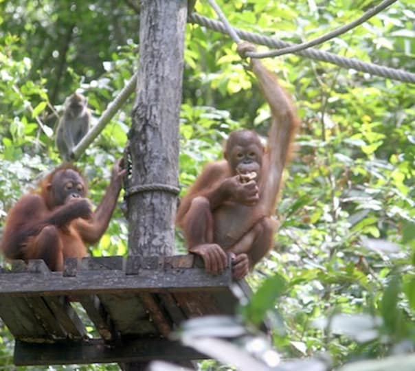 Orangutan Watching at Rasa Rai