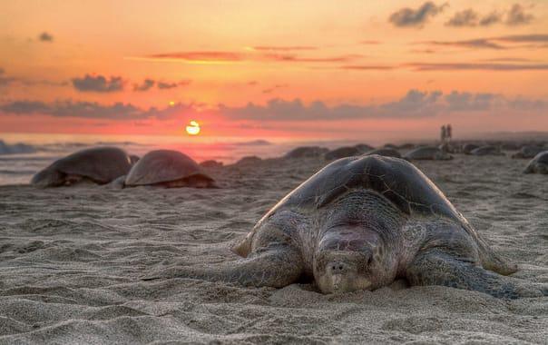 1200px-turtle_golfina_escobilla_oaxaca_mexico_claudio_giovenzana_2010.jpg